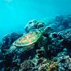 Graceful Turtle